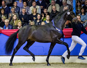 "OL-premium stallion 2017 ""Follow Him""von Follow Me x Sir Donnerhall, ©: Petra Kerschbaum"